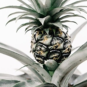 Pineapple Plant Photo Pack: My first experience growing a pineapple